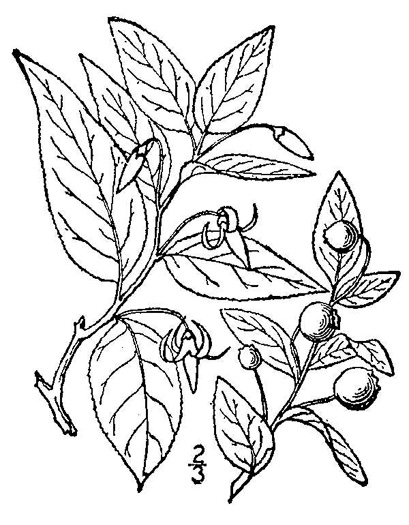 image of Vaccinium erythrocarpum, Bearberry, Highbush Cranberry, Southern Mountain Cranberry