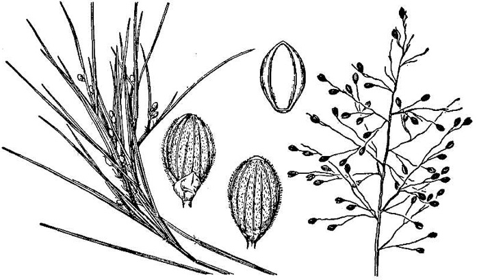image of Dichanthelium aciculare, Needleleaf Witchgrass, Needleleaf Rosette Grass