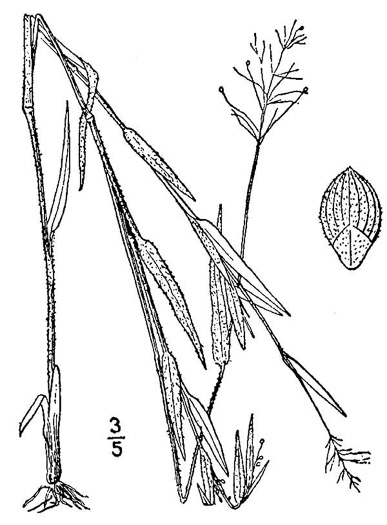 image of Dichanthelium columbianum, American Witchgrass