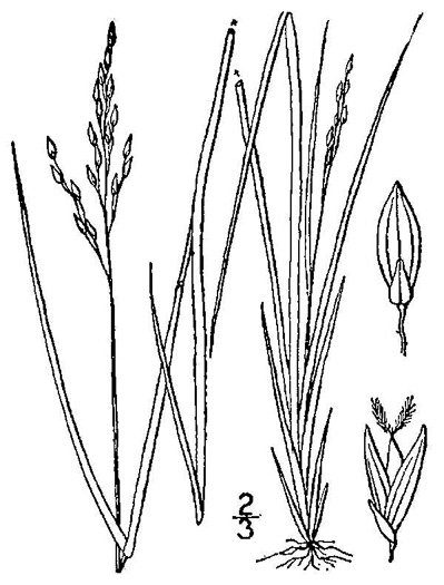 image of Dichanthelium depauperatum, Starved Witchgrass, Starved Panicgrass