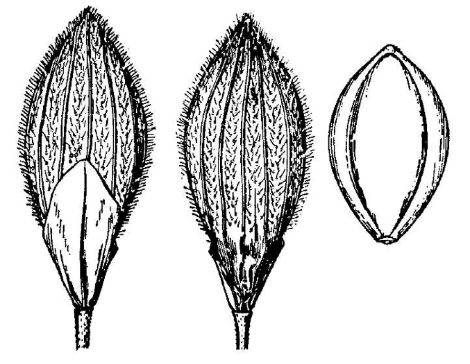 image of Dichanthelium fusiforme, Spindle-fruited Witchgrass