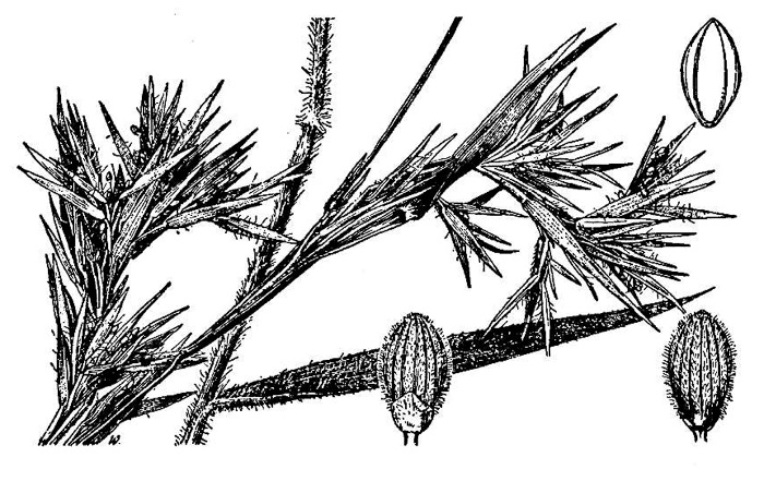 image of Dichanthelium scabriusculum, Tall Swamp Witchgrass