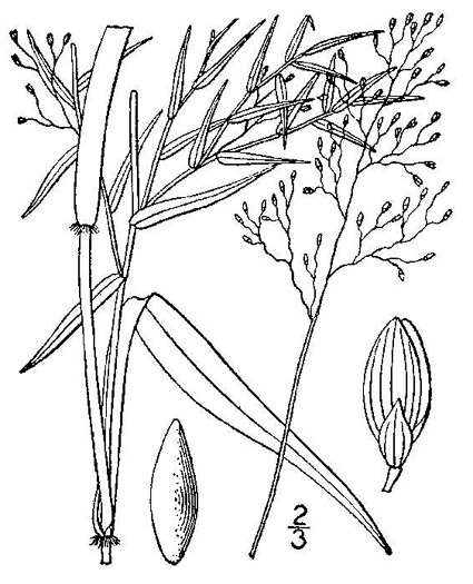 image of Dichanthelium microcarpon, Small-fruited Witchgrass