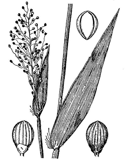 image of Dichanthelium sphaerocarpon, Round-fruited Witchgrass