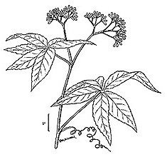 image of Parthenocissus inserta, Thicket Creeper, Woodbine
