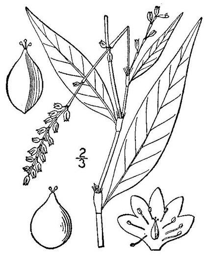 image of Persicaria punctata, Dotted Smartweed