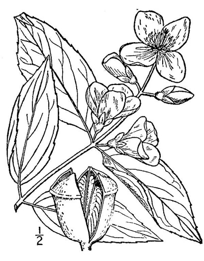 image of Philadelphus coronarius, European Mock-orange, Sweet Mock-orange