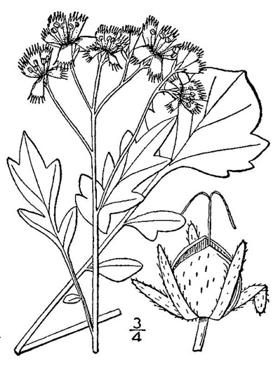image of Phacelia fimbriata, Fringed Phacelia, Blue Ridge Phacelia