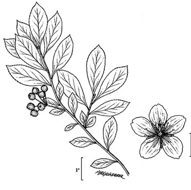 image of Aronia prunifolia, Purple Chokeberry