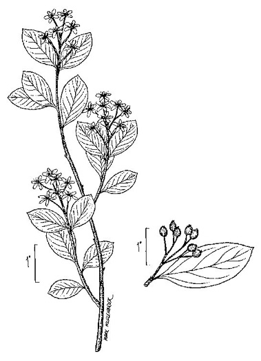 image of Aronia melanocarpa, Black Chokeberry