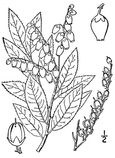 drawing of Pieris floribunda, Evergreen Mountain Fetterbush, Mountain Andromeda