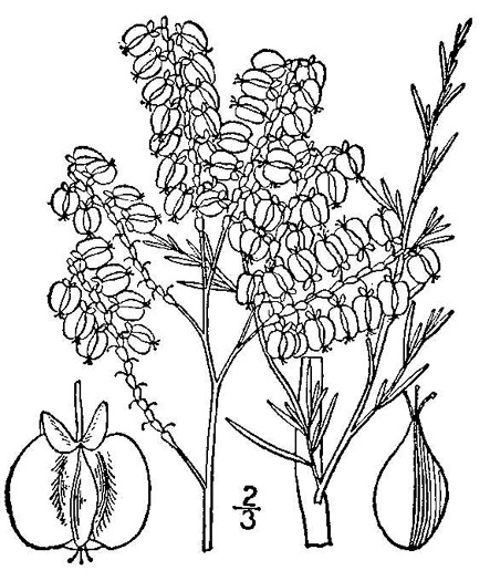 drawing of Polygonella americana, Southern Jointweed, Showy Jointweed
