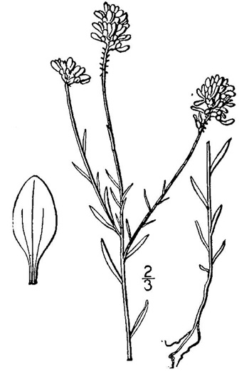 image of Polygala curtissii