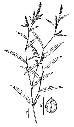image of Persicaria hydropiperoides, Mild Waterpepper
