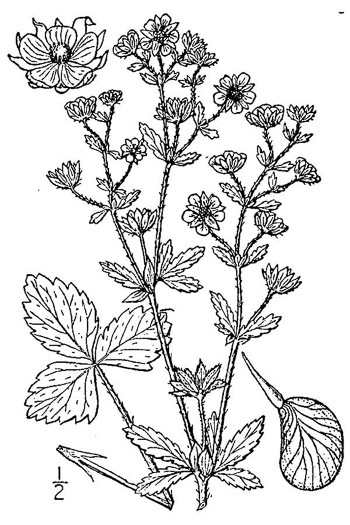 image of Potentilla norvegica, Strawberry-weed, Rough Cinquefoil, Norwegian Cinquefoil