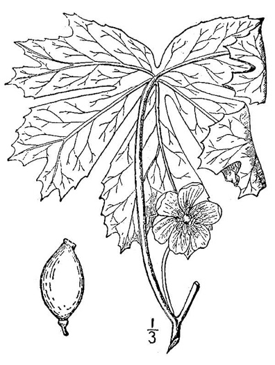 image of Podophyllum peltatum, May-apple, American Mandrake