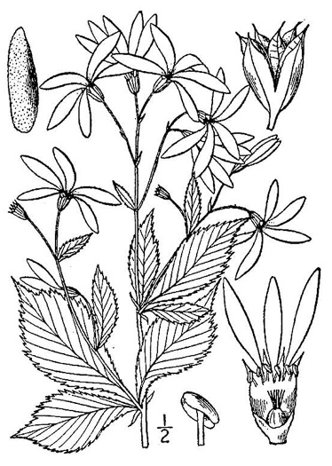 image of Gillenia trifoliata, Bowman's Root, Mountain Indian Physic, Fawn's Breath