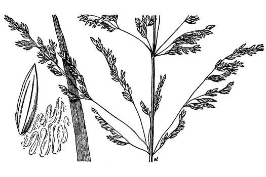 image of Poa trivialis ssp. trivialis, Rough Bluegrass