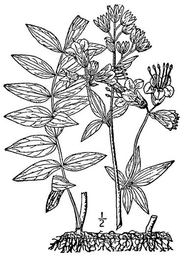 image of Polemonium vanbruntiae, Appalachian Jacob's Ladder