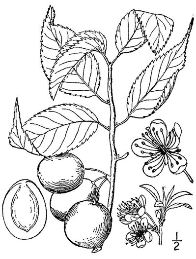 image of Prunus americana