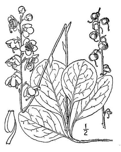 drawing of Pyrola americana, Rounded Shinleaf, Roundleaf Pyrola, American Wintergreen