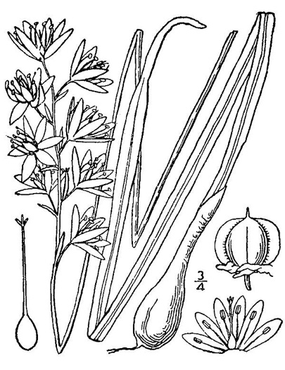 image of Camassia scilloides, Wild Hyacinth, Eastern Camas Lily, Quamash Lily