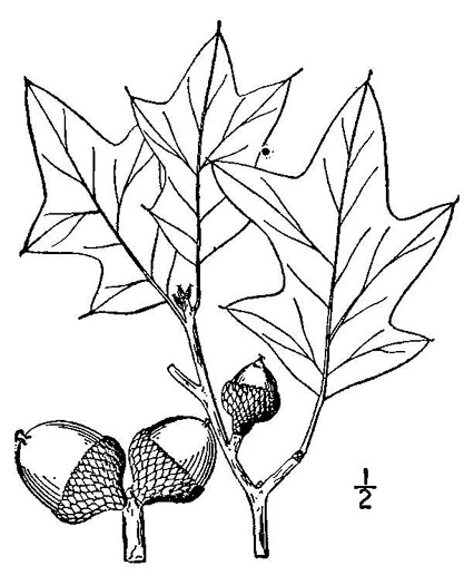 drawing of Quercus ilicifolia, Bear Oak, Scrub Oak