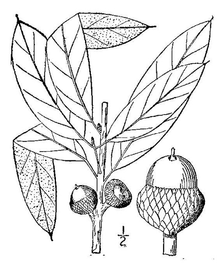 image of Quercus imbricaria, Shingle Oak