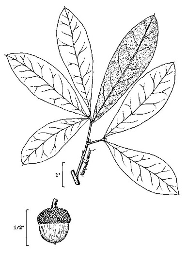 drawing of Quercus imbricaria, Shingle Oak