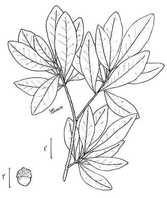 drawing of Quercus laurifolia, Laurel Oak, Swamp Laurel Oak, Diamond Leaf Oak