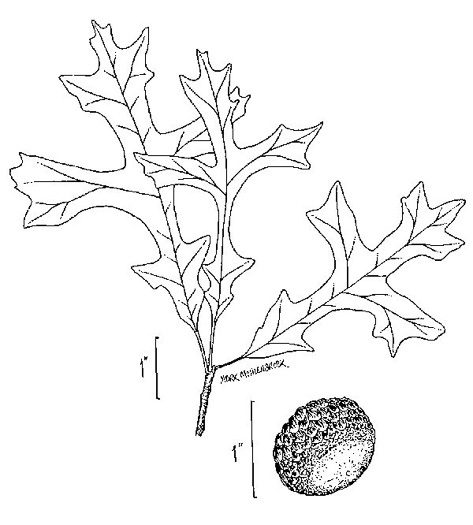 drawing of Quercus lyrata, Overcup Oak, Swamp White Oak