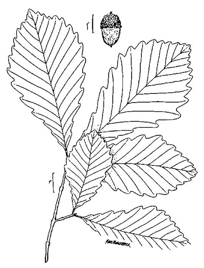 drawing of Quercus michauxii, Swamp Chestnut Oak, Basket Oak