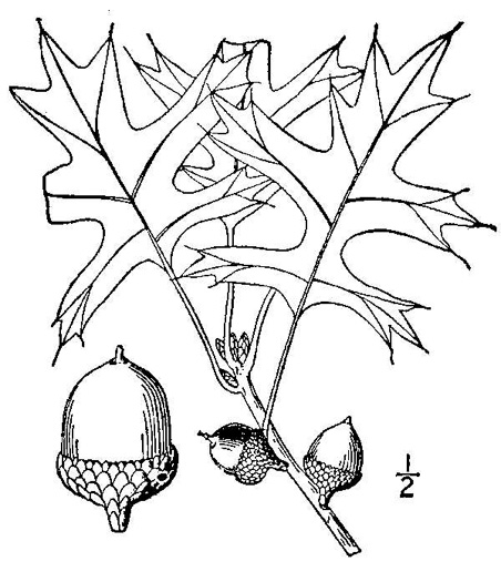 drawing of Quercus palustris, Pin Oak