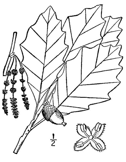 drawing of Quercus prinoides, Dwarf Chinquapin Oak