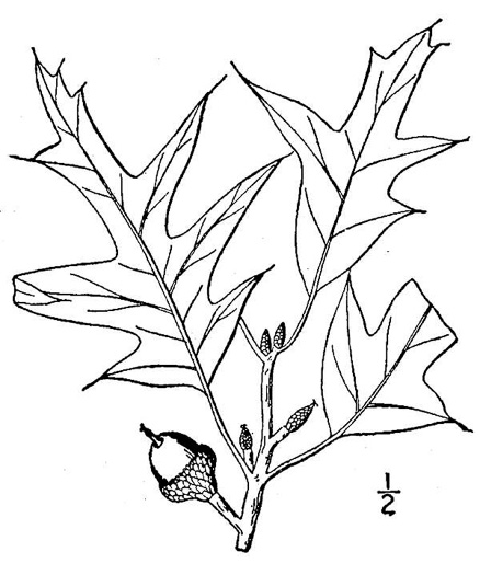 drawing of Quercus falcata, Southern Red Oak, Spanish Oak