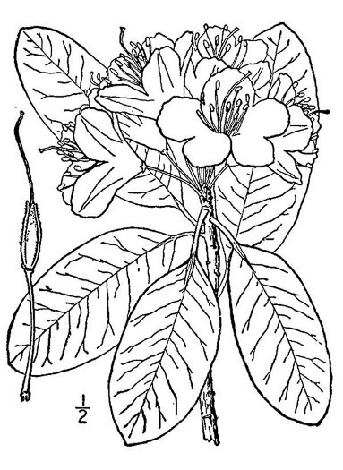 drawing of Rhododendron catawbiense, Catawba Rhododendron, Mountain Rosebay, Purple Laurel, Pink Laurel