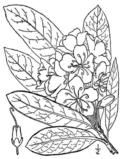 drawing of Rhododendron maximum, Rosebay Rhododendron, Great Laurel, White Rosebay, Great Rhododendron