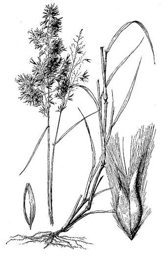 image of Melinis repens ssp. repens, Rose Natalgrass