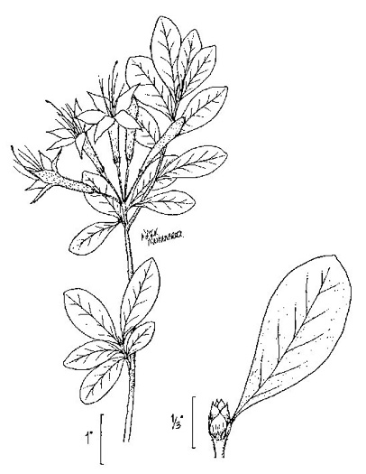 drawing of Rhododendron viscosum var. montanum, Clammy Azalea