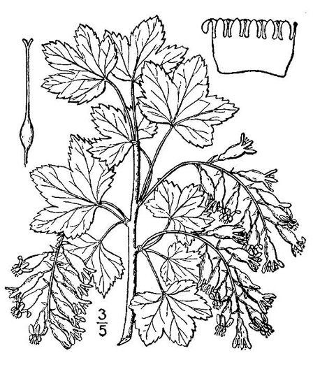 drawing of Ribes americanum, Wild Black Currant, American Black Currant