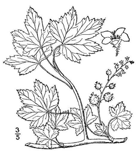 drawing of Ribes glandulosum, Skunk Currant, Mountain Currant