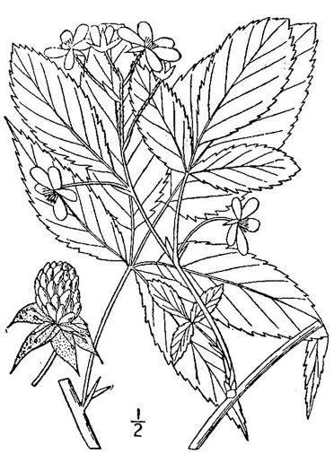 image of Rubus canadensis, Thornless Blackberry, Smooth Blackberry