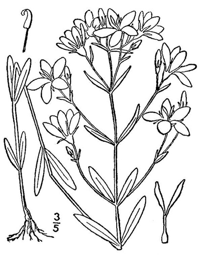image of Sabatia brachiata, Narrowleaf Rose-pink, Narrowleaf Rose-gentian, Narrowleaf Sabatia