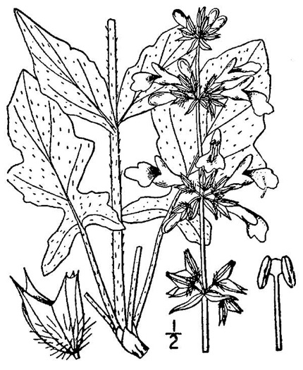 image of Salvia lyrata, Lyreleaf Sage