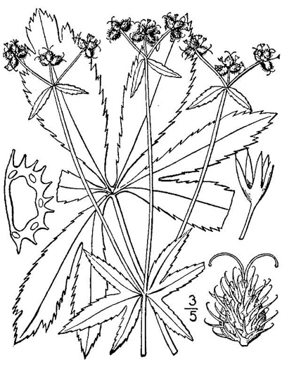 drawing of Sanicula marilandica, Black Snakeroot, Maryland Sanicle, Maryland Black-snakeroot