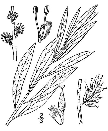 image of Salix occidentalis