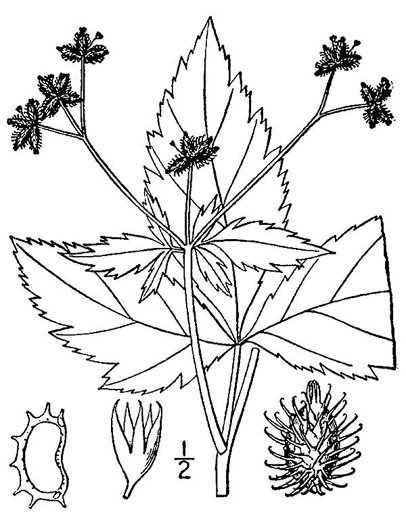 drawing of Sanicula trifoliata, Long-fruited Snakeroot, Beaked Sanicle, Large-fruited Sanicle, Largefruit Black-snakeroot