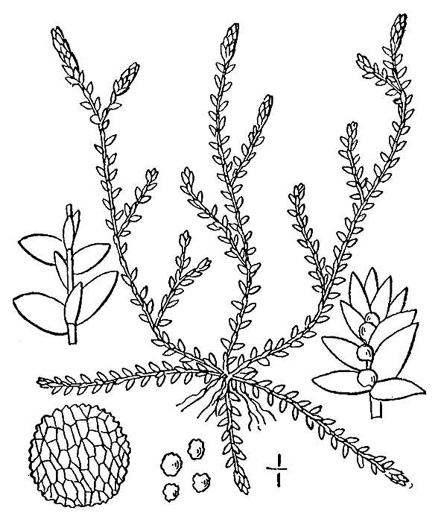 image of Lycopodioides apodum, Meadow Spikemoss