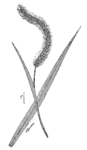 image of Setaria faberi, Nodding Foxtail Grass, Giant Foxtail-grass, Chinese Foxtail