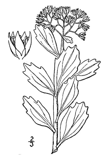 image of Hylotelephium telephioides